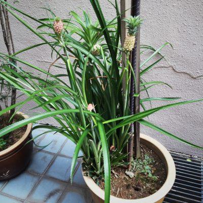Tiny pineapple tree/bush?!