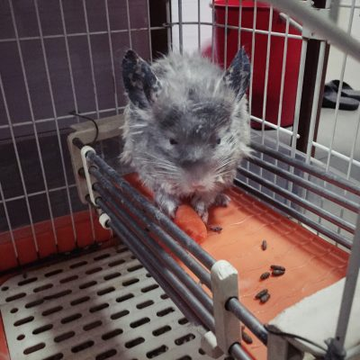 Chinchilla! Dunno why it looks so mangled :( cousin said it's the heat.