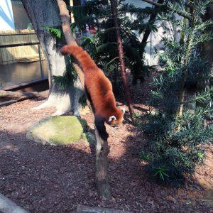 Aaaw Red Panda!